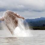 Whale at Playa Nicuesa