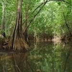 Coyote Mangrove