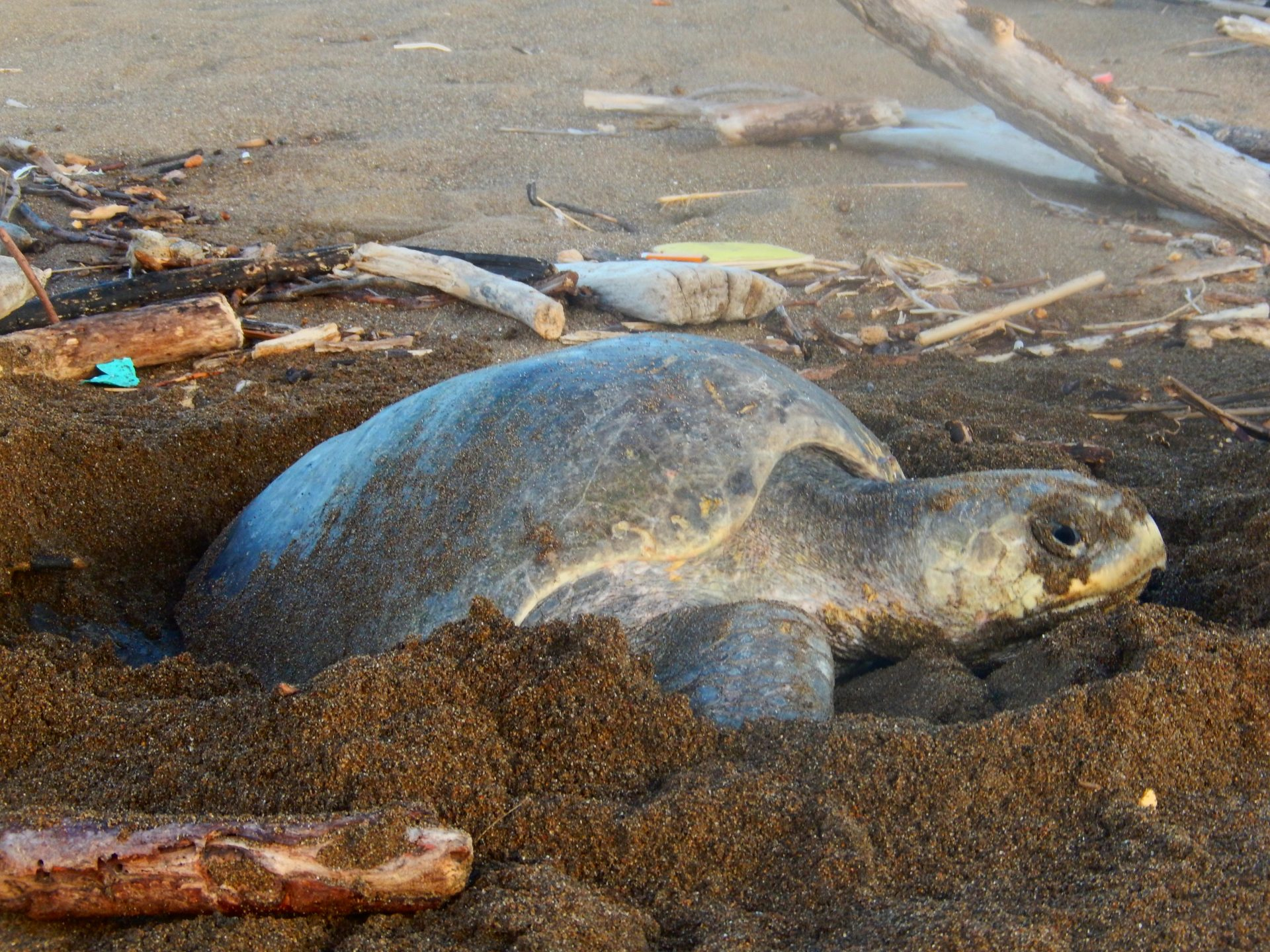 The sea turtle nesting season is finally starting for the CREMA team